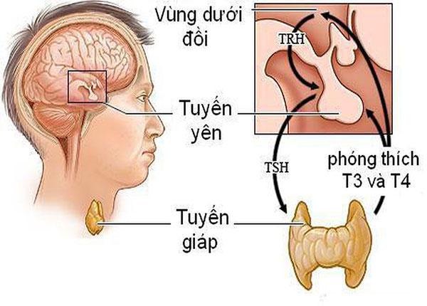 Hormon tuyến giáp tham gia vào nhiều quá trình chuyển hóa trong cơ thể