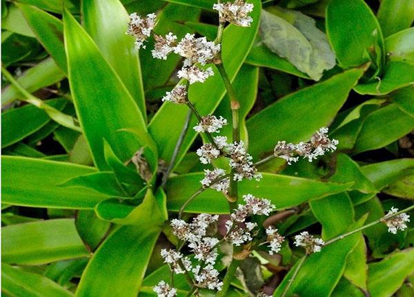 Áp dụng công thức cụ thể để phát huy hết tác dụng chữa bệnh của cây lược vàng