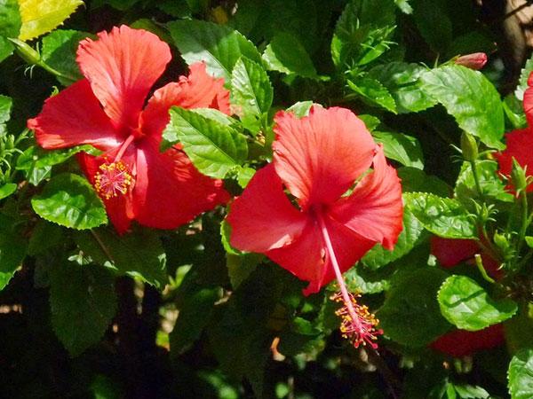 Hoa dâm bụt giúp thanh nhiệt giải độc, chữa mất ngủ