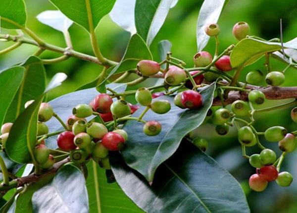Lá vối và quả vối được sử dụng nhiều trong các bài thuốc YHCT