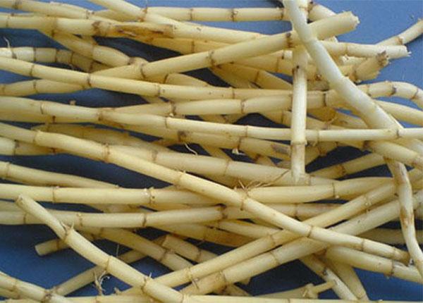 Trong Y học cổ truyền rễ cỏ tranh chữa được nhiều bệnh