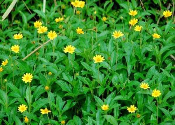 Sài đất có tác dụng chữa bệnh hiệu quả trong Y học cổ truyền