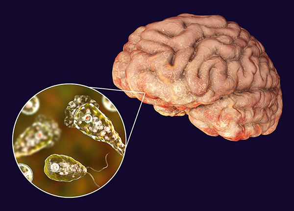 Amip ăn não là một loài thuộc chi naegleria, ngành percolozoa